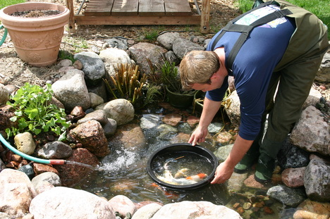 Scheduled summer koi pond maintenance service rochester for Keeping ponds clean without filter